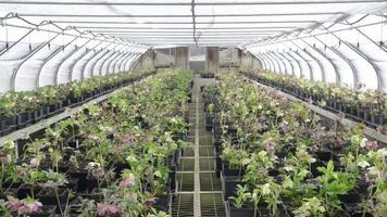 Hellebores greenhouse