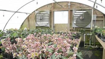 Hellebores Green House y ventiladores gigantes