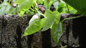 planta de vid