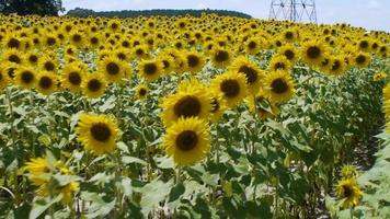 Well ordered rows in a sunflower farm video