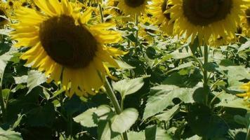 un gran campo de flores bañadas por el sol