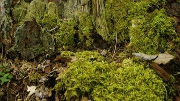 suelo del bosque, con musgo y tocón de árbol
