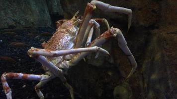 Video of Crab Moving Underwater 4k