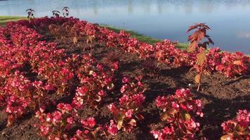 lindas flores rosa perto da água 4k video