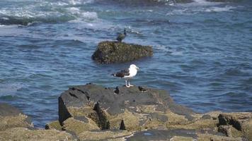 gaviota en roca por océano 4k