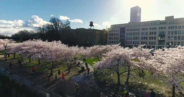 portland oregon cherry blossoms park 4k aérea drone shot