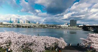 parque de flores de cerejeira de portland oregon rastreando tiro de drone aéreo de 4K video