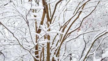 close-up de uma árvore coberta de neve em uma floresta de neve filmagem de arquivo gratuito