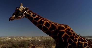 Traveling shot of a giraffe walking on the savanna in 4K video