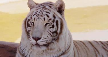 Close up of a white tiger turning his head to the left of the scene in 4K