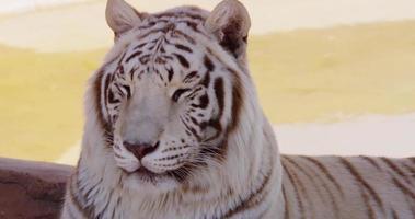 close up de um tigre branco virando a cabeça para a esquerda da cena em 4k video
