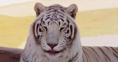 Close up of a white tiger turning his head to the camera and showing his tongue in 4K