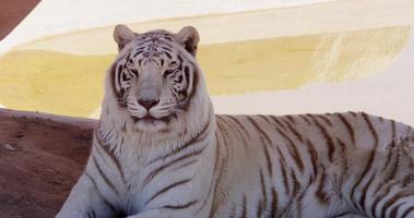 Close up of a white tiger turning his head to the camera in 4K video