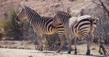 Traveling shot of zebras on the savanna in 4K video
