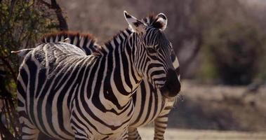 Close up of zebras on the savanna in 4K video