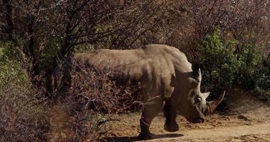 foto de viagem de um rinoceronte caminhando por arbustos em 4k