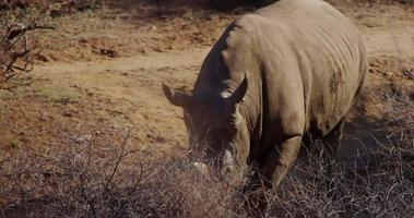 Traveling shot of a close up to a rhino walking through bushes in 4K video