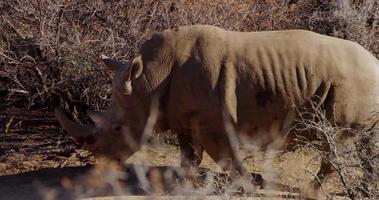 Traveling shot of a rhino walking through bushes in 4K slow motion video