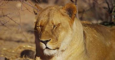 Close up of a lioness yawning near the grass in 4K video