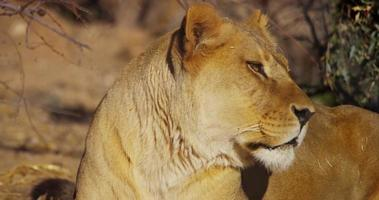 Close up of a lioness staring to the right of the scene and then turning her head in 4K