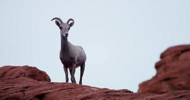 Static shot of a mountain goat on red rocks