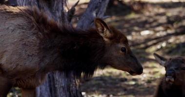 Plano de viaje de un cierre a un ciervo caminando bajo los árboles en 4k video