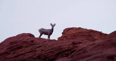 Static shot of a mountain goat on red rocks turning his head