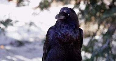 Close up of a crow moving the head and blinking in 4K