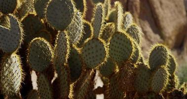 Vertical slow panning shot of oval cactus in the desert in 4K video