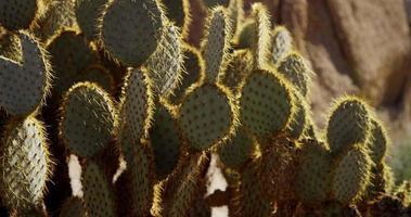 imagem panorâmica lenta de cacto oval no deserto em 4k video