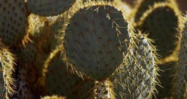 statische Aufnahme, die mehrere Ebenen des ovalen Kaktus fokussiert video