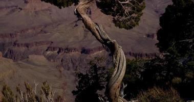 vertikales Schwenken des Baumes mit roter Schlucht auf dem Hintergrund in 4k