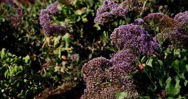 Disparo de viaje lento a la izquierda de pequeñas flores púrpuras en 4k video