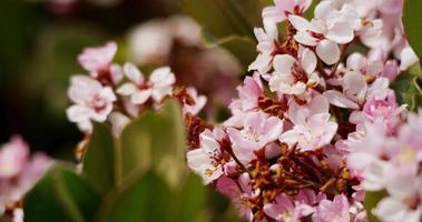 Tiro de viaje lento a la izquierda de flores rosas claras con hojas verdes frescas en 4k video