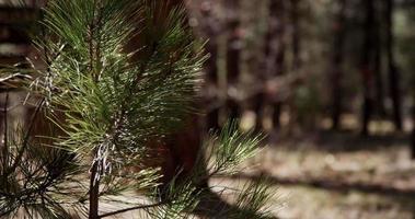 Toma panorámica vertical de ramas de pino en bosque relajante en 4k