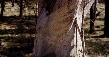 Cerca del árbol seco blanco en el bosque verde con panorámica vertical en 4k