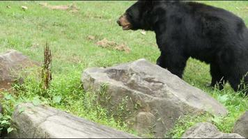 vários ursos negros vagando pelo habitat | filme de arquivo grátis