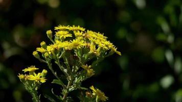 close-up de pequenas flores amarelas movendo-se com o vento em 4k
