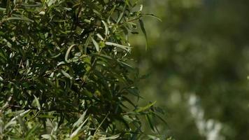 close-up de galhos de árvores cheios de folhas verdes movendo-se lentamente com o vento em 4k