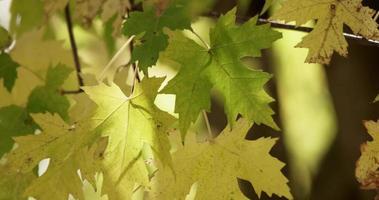close-up extremo de folhas verdes e amarelas movidas pelo vento em galhos de árvores em 4k