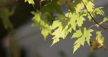close-up extremo de folhas verdes movidas pelo vento em galhos de árvores em 4k