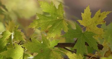 close-up extremo de folhas verdes e amarelas movidas pelo vento com fundo da natureza em 4k
