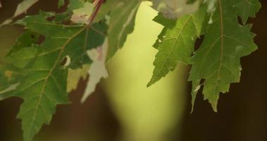close-up extremo de lindas folhas verdes com fundo desfocado em 4k video