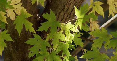 close up de folhas verdes movidas lentamente pelo vento com tronco backgund em 4k