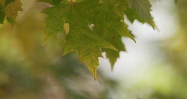 close-up extremo de duas folhas e galhos movidos pelo vento com fundo desfocado em 4k video