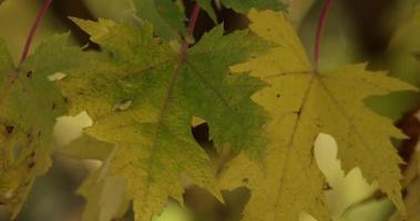 close-up extremo de folhas verdes e amarelas mosqueadas movidas pelo vento em 4k
