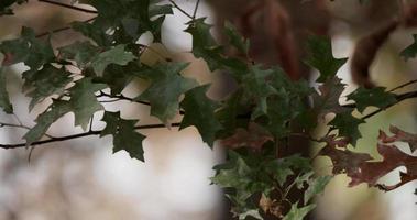 folhas verdes escuras e marrons movidas pelo vento com fundo de floresta desfocado em 4k