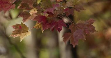 close-up extremo de folhas manchadas de vermelho e amarelo movidas pelo vento em um fundo desfocado em 4k