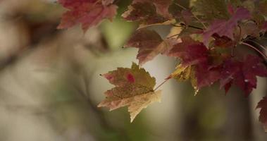 folhas vermelhas e mosqueadas movendo-se lentamente no fundo desfocado da floresta em 4k