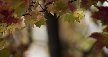 folhas manchadas de vermelho e verde nos cantos superiores movendo-se lentamente com troncos desfocados no fundo em 4k